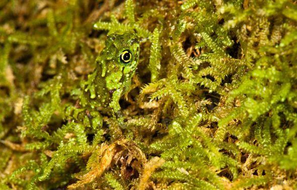 一只狭口蛙躲在马索亚拉半岛国家公园的青苔里