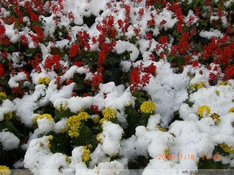 下雪了 - 红色郁金香 - 我的博客