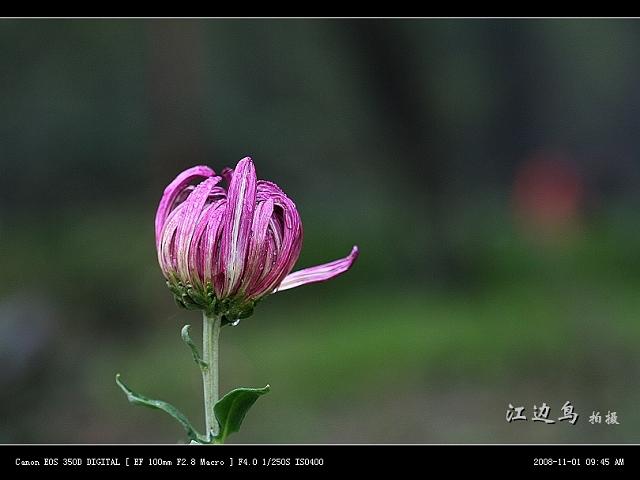 [原创摄影] 08森林公园菊展之一 - 江边鸟 - 江边鸟的博客