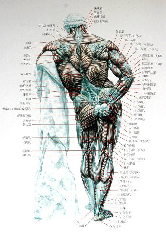 肌肉动作动态示范 - 文武之道一张一弛 - 文武之道  一张一弛