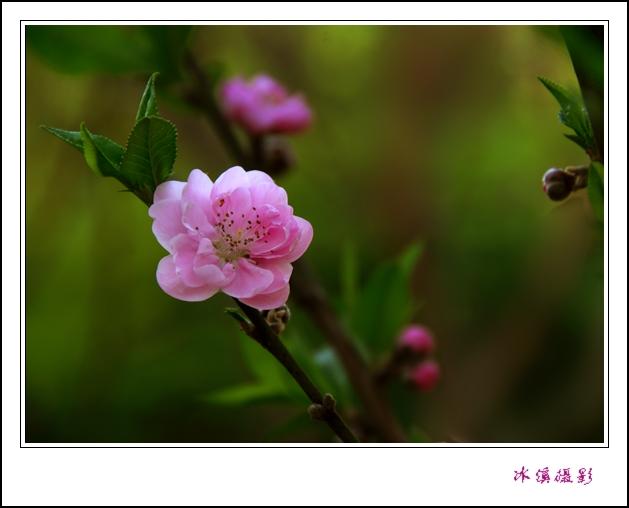 [摄影原创] 春满人间之三:碧桃 - 木槿 - 木槿花开