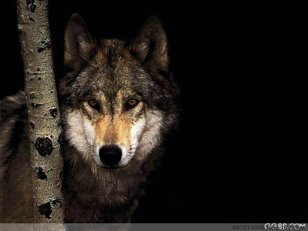狼图腾 - 大漠飛鷹 - 大漠飛鷹的博客