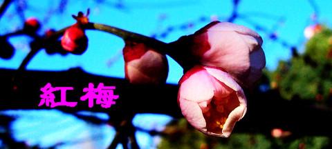 [诗词 摄影】清平乐·红梅 - 无再少 - 无再少的博客