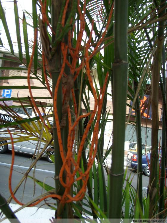 [原摄] 单子叶植物~茶马椰子 (P) - 狮子山上雾茫茫 - 狮子山上雾茫茫攝影集 的博客