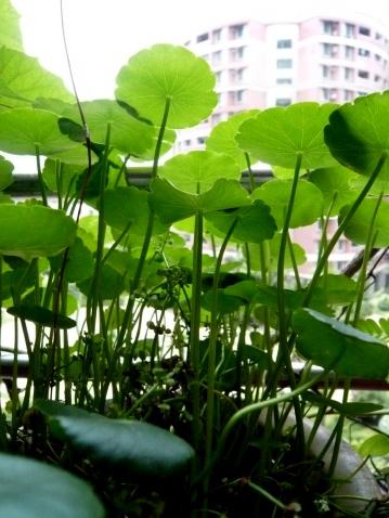 植物日记-----铜钱草 - 明明 - 梁明明的blog—光影之河