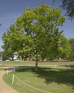 法国巴黎的行道树(一)法国梧桐 - pfspfs666.popo - 反三的博客
