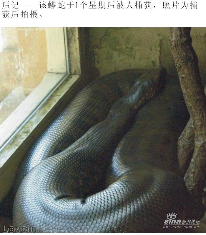 140岁成精的大蟒蛇被辽宁新宾路无意挖出 - 至