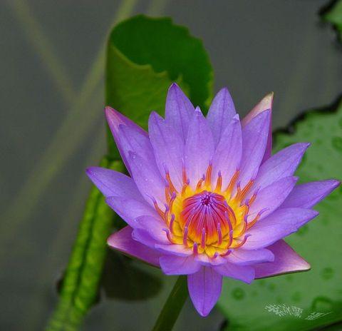 [莲的故事之四]兰竹。莲梦。佛心 - 紫冰兰 - 莲心苑。紫冰兰