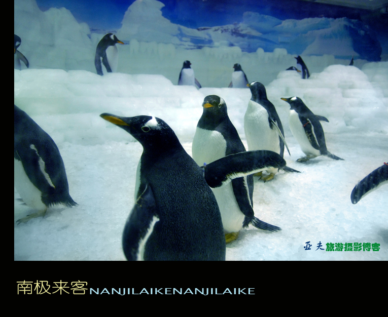 (原摄)企鹅——南极来客 - 高山长风 - 亚夫旅游摄影博客