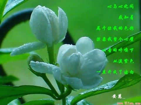 2007.7.10 网易  我来了! - 青青茉莉花 - 保护自然.崇尚真理.热爱生活