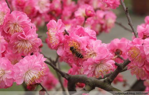 蜜蜂戏红梅 - 西地笺儿 - 健康和摄影-西地笺儿的博客