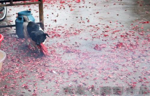 小狗不怕放鞭炮  - 客家人 - 客家人·逍遥影像