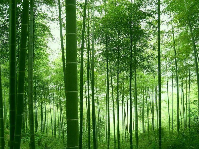 七绝.咏竹(新韵)和老牛先行君/野狂人 - 野狂人 - 好人园——和谐的家园