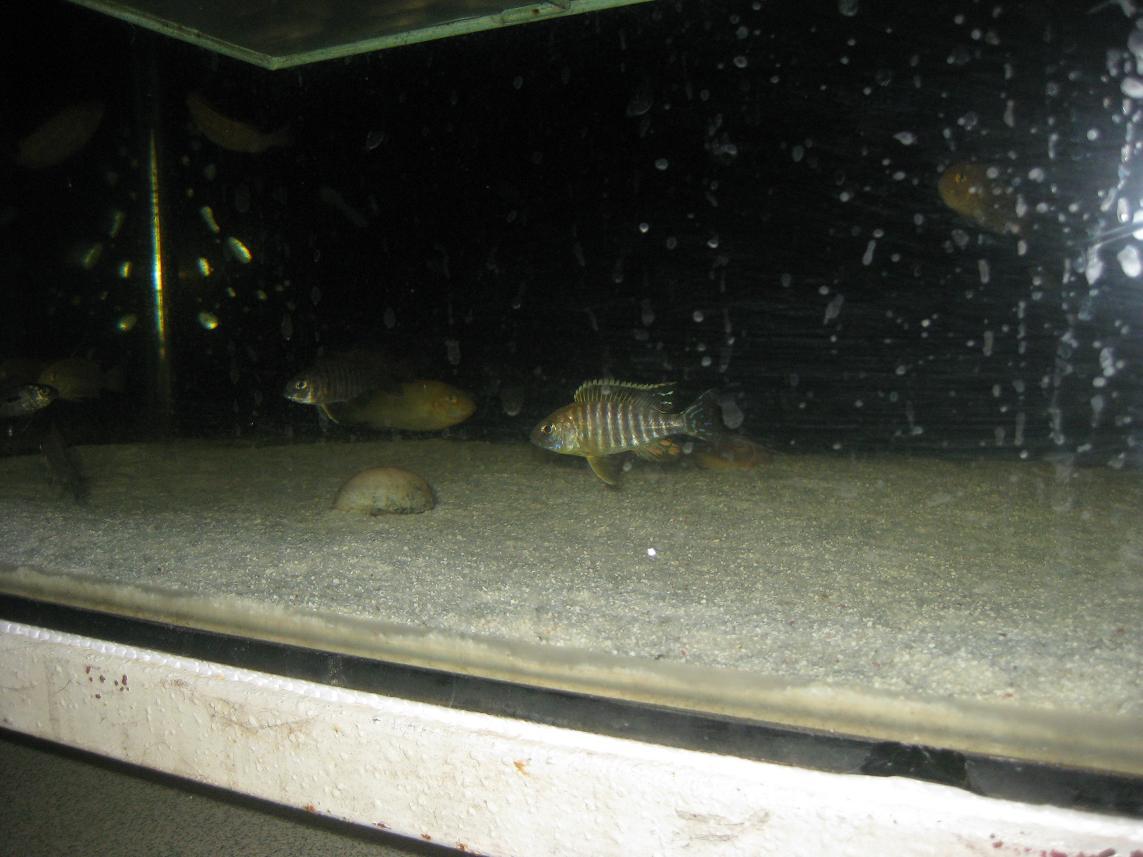 展示下库存的三湖鱼类!!!! - x-999 - 牧 鱼 水 族