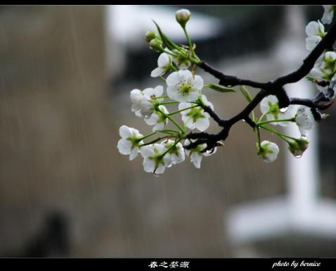 [原创摄影]春色无边,唯见粉墙黛瓦吹黄花…… - 王工 - 王工的摄影博客