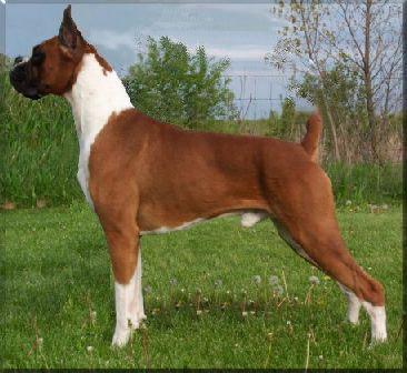 世界十大名犬