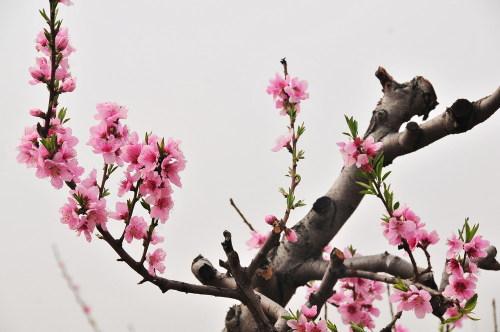 再贴:美丽的桃花以及桃花的诗 - 雨兰 - 雨兰的博客