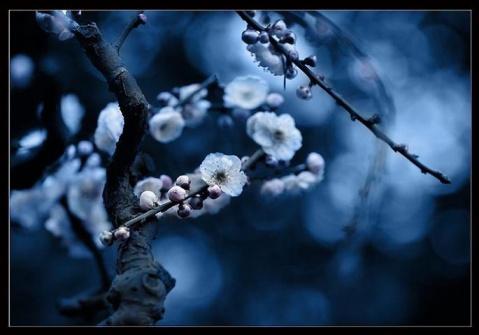 蝶恋花--寻梅未果(外一首) - 恺撒大帝 - 恺撒大帝--闻香识女人