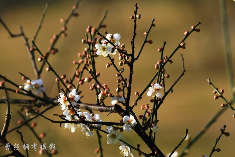 (原创摄影)  萝岗香雪----白梅 - 曾经拥有 - 我的摄影花园