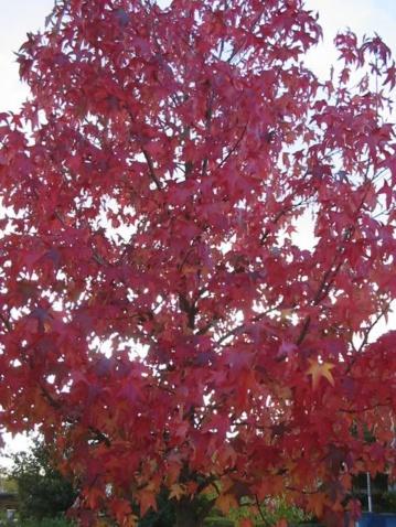 北美枫香树 - pfspfs666.popo - 反三的博客