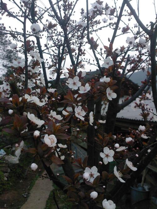 槐花飘香的季节 - 冷暖人生 - 冷暖人生