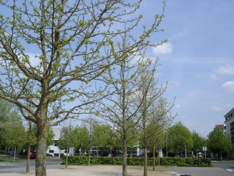 绿叶初上枫香树 - pfspfs666.popo - 反三的博客