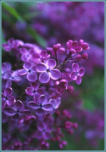 七律·丁香花 - 为谁向天乞怜哀 - 一梦千寻 的博客