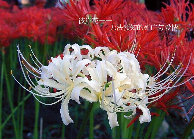 彼岸花——Red Spider Lily - yankefei008 - yankefei008的博客