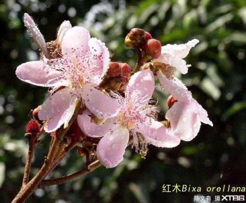 【引用】西双版纳部分原生态花果 - lyg20130401 - lyg20130401的博客
