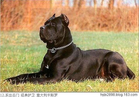 世界猛犬排行榜 藏獒王 十大禁养猛犬排行榜 比特犬高清图片