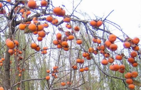[原创] 一剪梅.冬日喜见柿子树 - 冶超 - 冶超三界堂