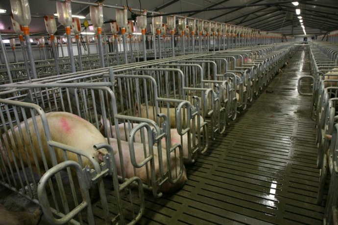 揭示一头猪的从生到死,又如何成为人类口中食(组图) - 刻薄嘴 - 刻薄嘴的网易博客:看世界