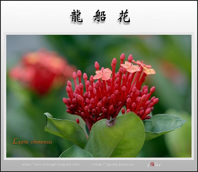 热带花卉植物--龙船花 - 海阔山遥 - .