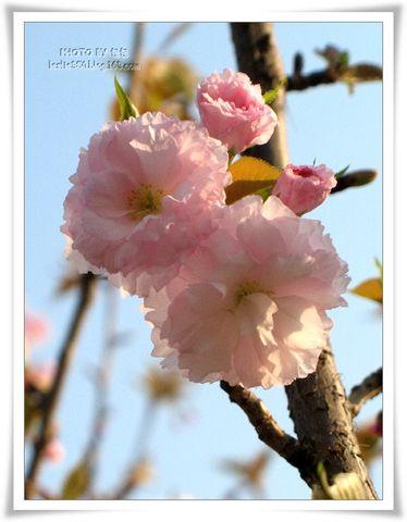 【原创摄影】3月9日樱花颂 - 包包 - 小小面包屋