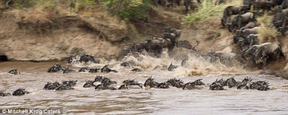 奋力游泳:这只受到河马帮助的牛羚属于这个巨大的牛羚群体,在肯尼亚马赛马拉,它们每年都要穿越马赛河,场面蔚为壮观