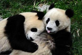 来自灾区的奥运熊猫就要在京与大家见面了 【编辑】