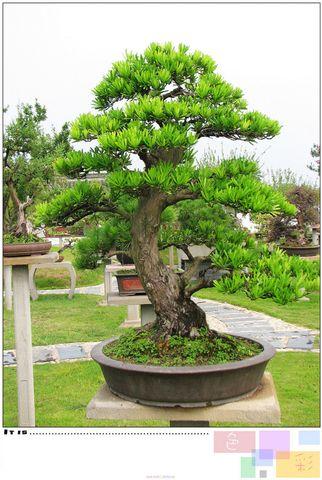 鲍家花园盆景 - 楚天 - lqp59(楚天)的博客