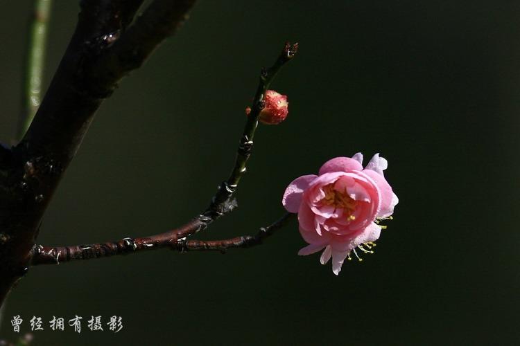 (原创摄影)   萝岗香雪----红梅 - 曾经拥有 - 我的摄影花园
