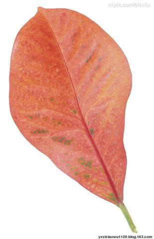 红叶子······ - 叶子 - 叶子的博客