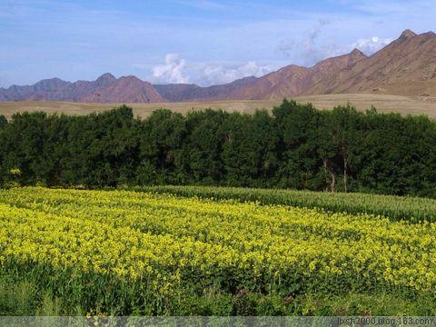向日葵 - 阿凡提 - 阿凡提的新疆生活
