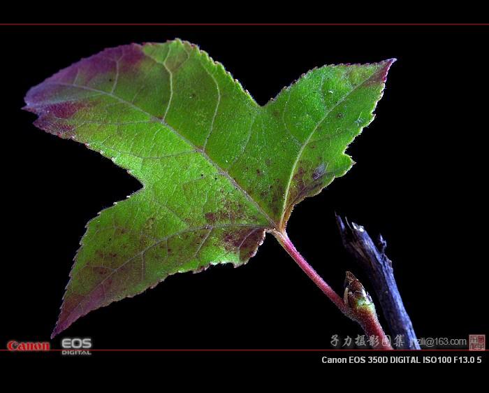[原创] 冬叶红果 - 子力 - 子力摄影图集