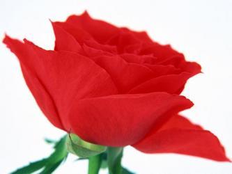 《紧握你的手,我的玫瑰!》