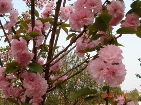 游中山(南头)樱花节 - 度秋 - 度秋的博客