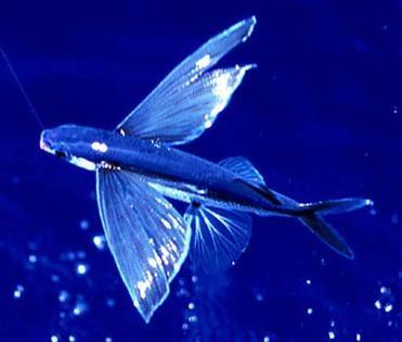 奇幻世界!真实的飞鱼