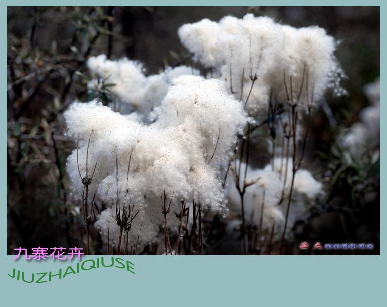 (原摄)九寨花卉 - 高山长风 - 亚夫旅游摄影博客