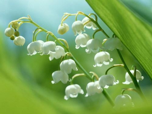 ◆铃兰铃兰 - lygqihongling - 清荷铃子