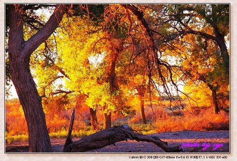 秘境中国10五道桥胡杨林 - 自由诗 - 人文历史自然 诗词曲赋杂谈
