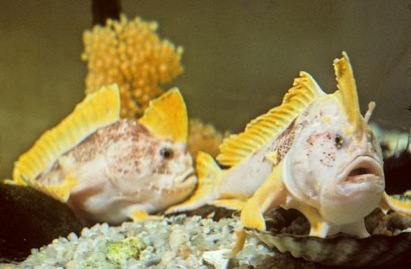 黄鳍长手鱼