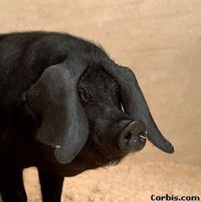 愚蠢等猪及其与之相似的动物所具有