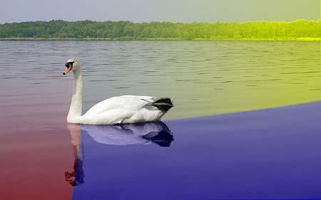 美丽的天鹅湖 - Lily - 百合花园
